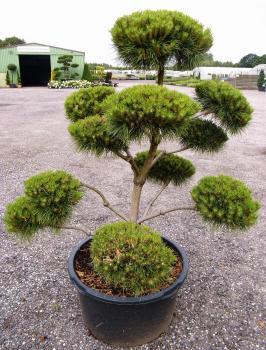 garten bonsai und formgeh lze direkt in unserer baumschule online kaufen olaf ramcke. Black Bedroom Furniture Sets. Home Design Ideas