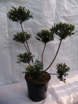 garten bonsai und formgeh lze direkt in unserer baumschule. Black Bedroom Furniture Sets. Home Design Ideas