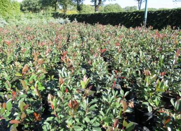 Glanzmispel Red Robin (Photinia fraserii Red Robin)