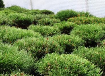 Nadelgehölze Online Kaufen Olaf Ramcke Pflanzenhandel