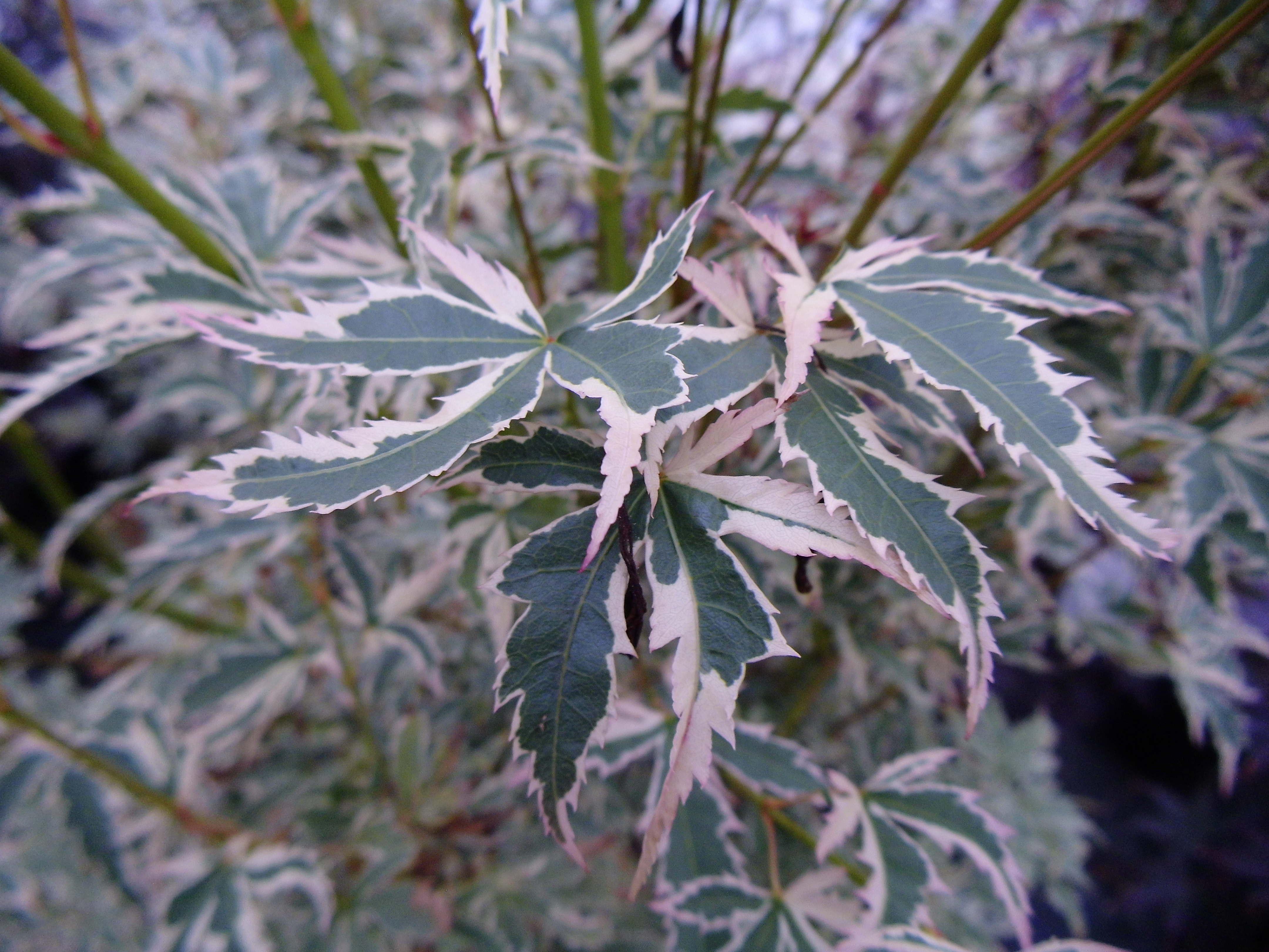 Super Weißbunter Schmetterlings-Ahorn, Acer palmatum Butterfly, online @IB_42