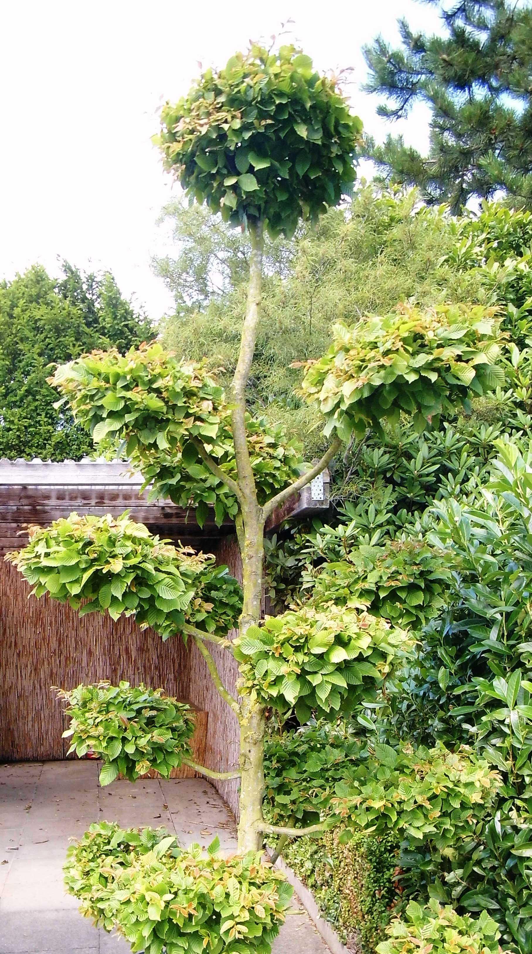 hainbuche wei buche carpinus betulus bonsai olaf ramcke pflanzenhandel. Black Bedroom Furniture Sets. Home Design Ideas