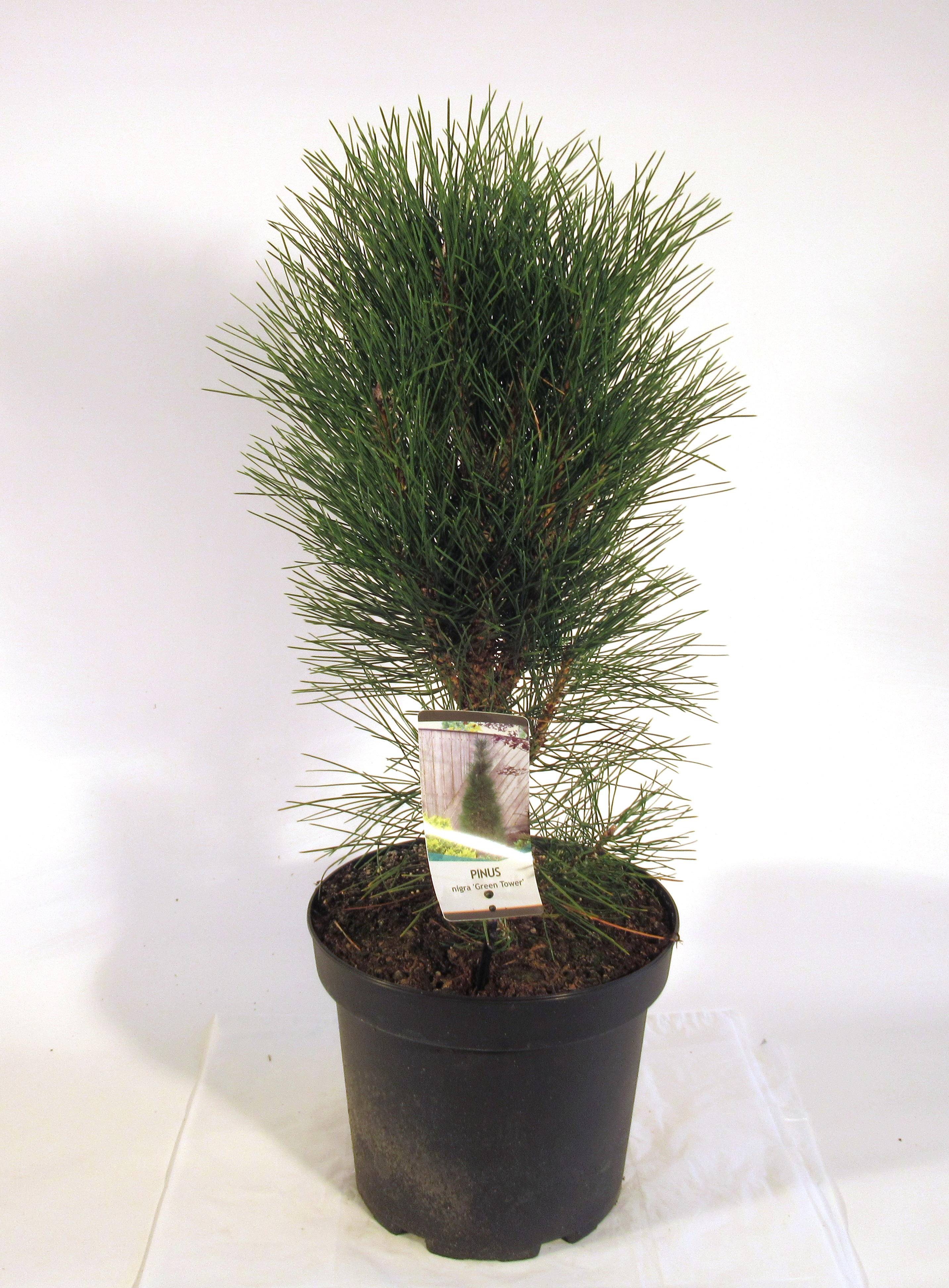 """Säulen-Schwarzkiefer Pinus nigra /""""Green Tower/"""" 50-60 cm"""
