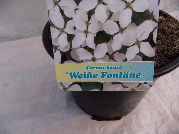 Chinesischer Blumen-Hartriegel Weiße Fontäne (Cornus kousa chinensis ...