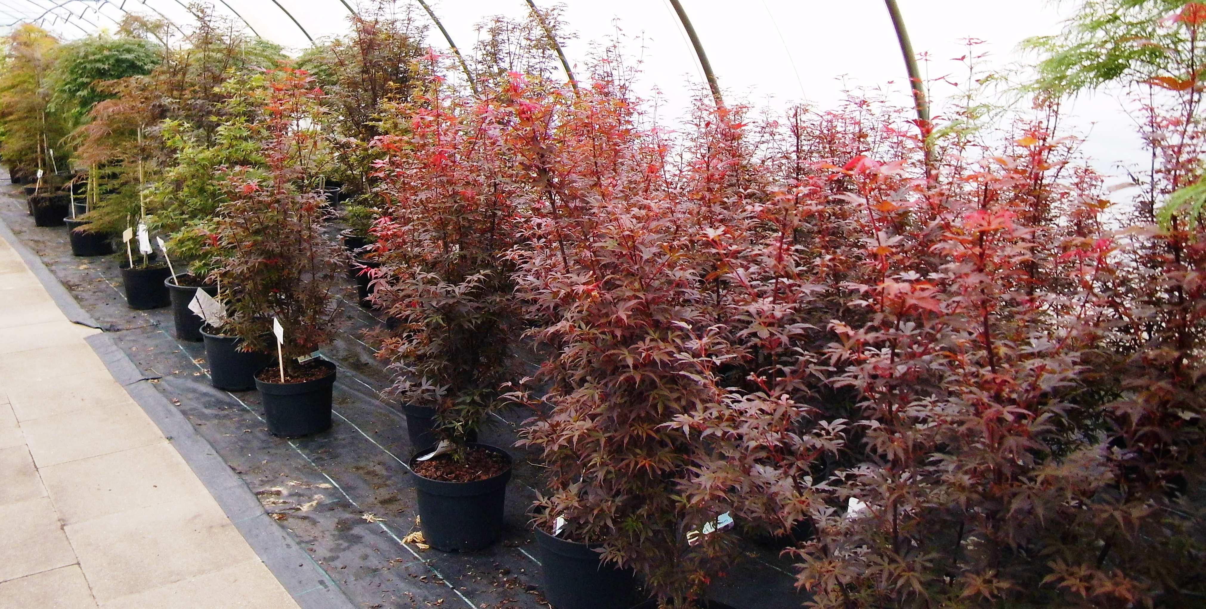 Acer palmatum (Fächerahorn) in Sorten