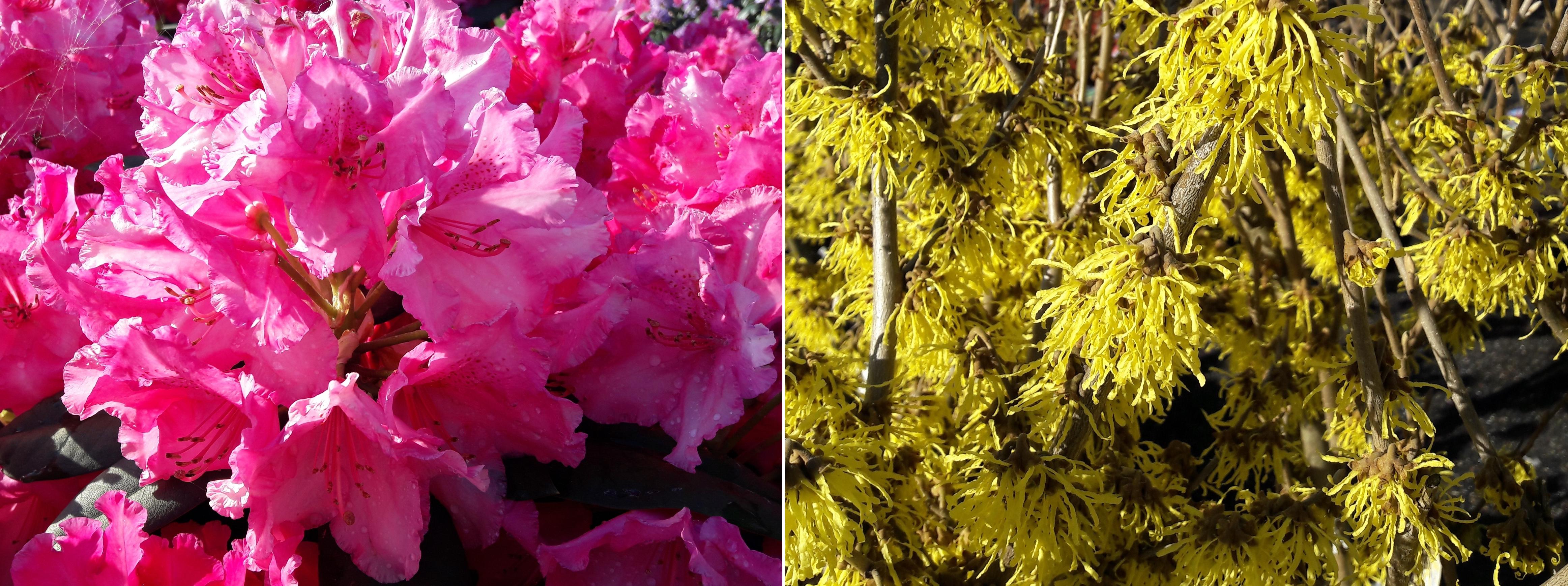 Rhododendron & Hamamelis (Zaubernuss)