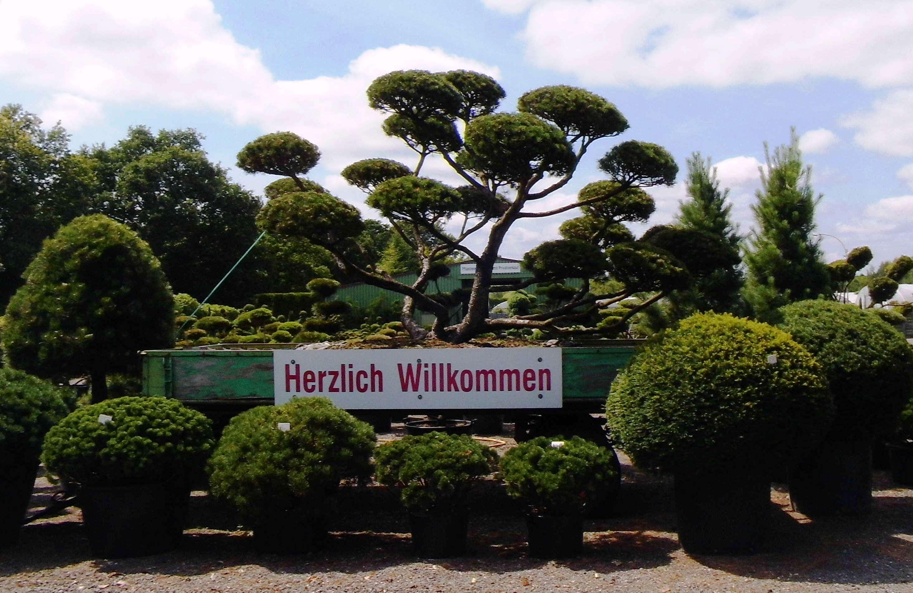 Kiefern Bonsai und Solitäre (Pinus)