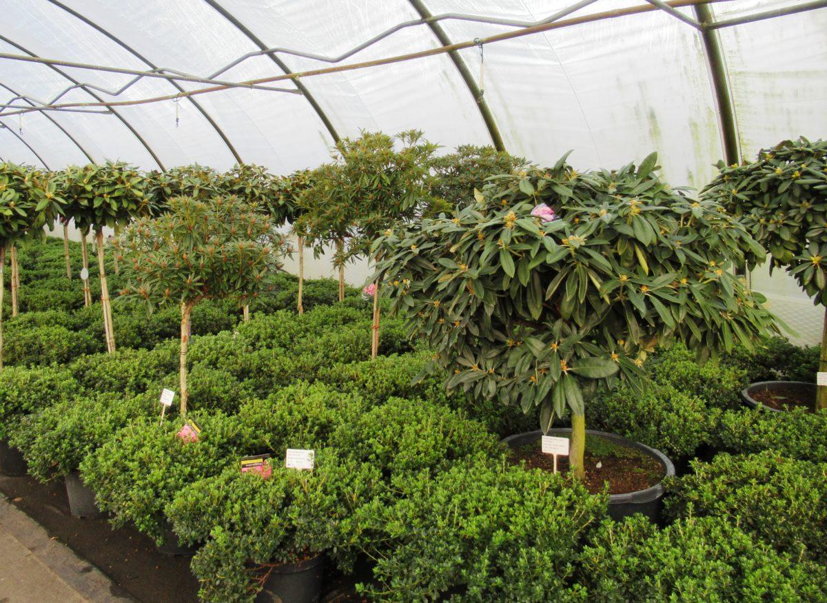 Rhododendron Stämme